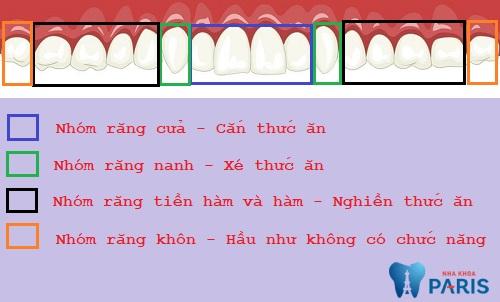 Chức năng của các răng trên cung hàm