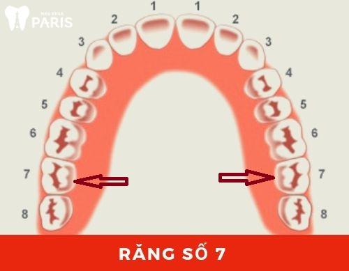 Vị trí của răng số 7