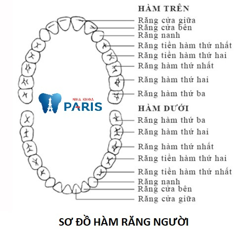 Tổng số răng của người trưởng thành